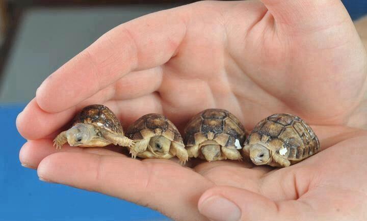 Baby tortoises .