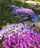 Creeping Phlox ground cover flowers