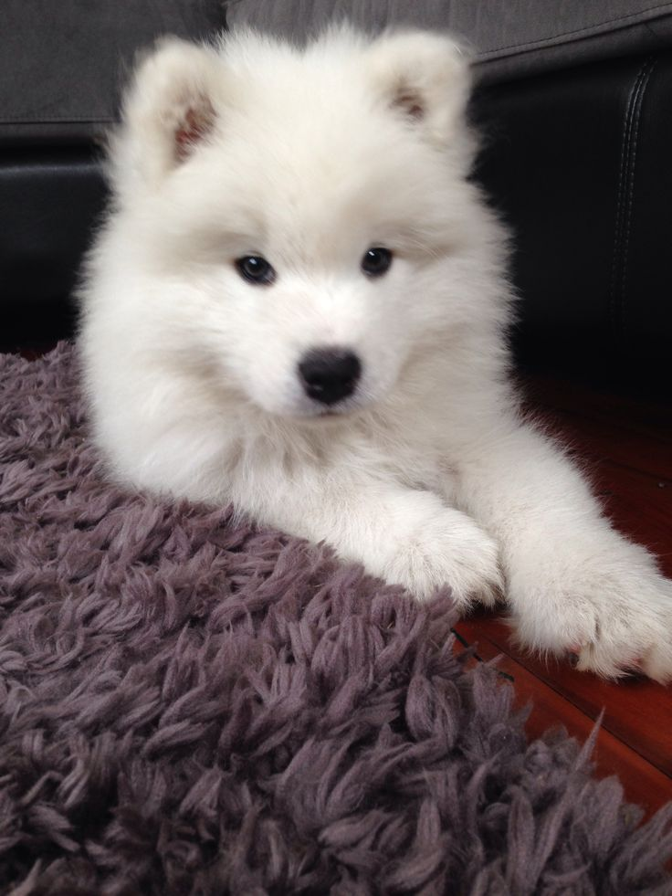 Loki The Samoyed puppy