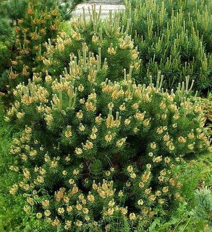 """PINUS MUGO """"LAURIN"""" 365,00 грн    Вічнозелений кущ, висотою 0,5-0,8м і шириною 1,2-1,5м. Хвоя насичено-зелена. Цікава у період приросту. Добре росте на сонячному місці. Стійка до морозів, засолення грунтів і перезволоження."""