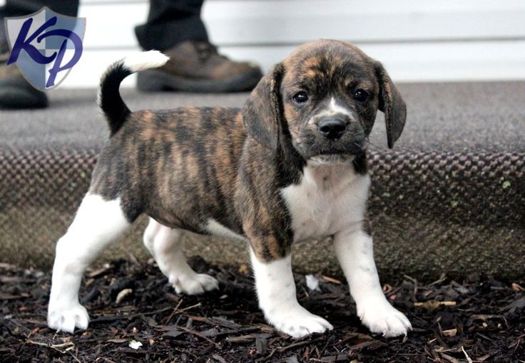 Beauty – Beabull Puppies for Sale in PA | Keystone Puppies