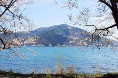 滋賀県高島市の海津大崎の桜は青い空と湖に桜が映えてとっても癒されます(o) 琵琶湖八景のひとつとして有名で約800本のソメイヨシノがずらりと並ぶ道は華やか 日本さくら名所100選にも選ばれてるのでみなさんにも見て欲しいですねぇ  tags[滋賀県]