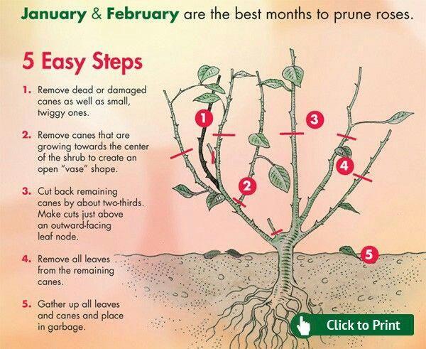 Key 3579387487 Pruning Roses Hybrid Tea Roses Planting Roses