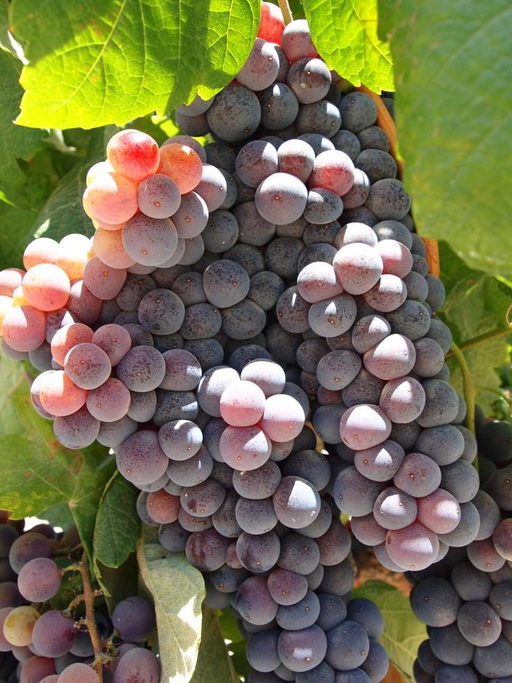 #Uvas tintas #Contiempo #Enoturismo #Viticultura