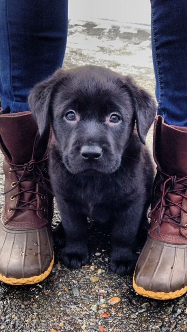 Chocolate lab puppy between owner;s boots.