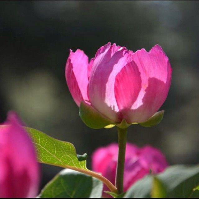 Have you ever seen Paeonia Turcica' the symbol flower of the  exposition that will take place in Antalya 2016?
