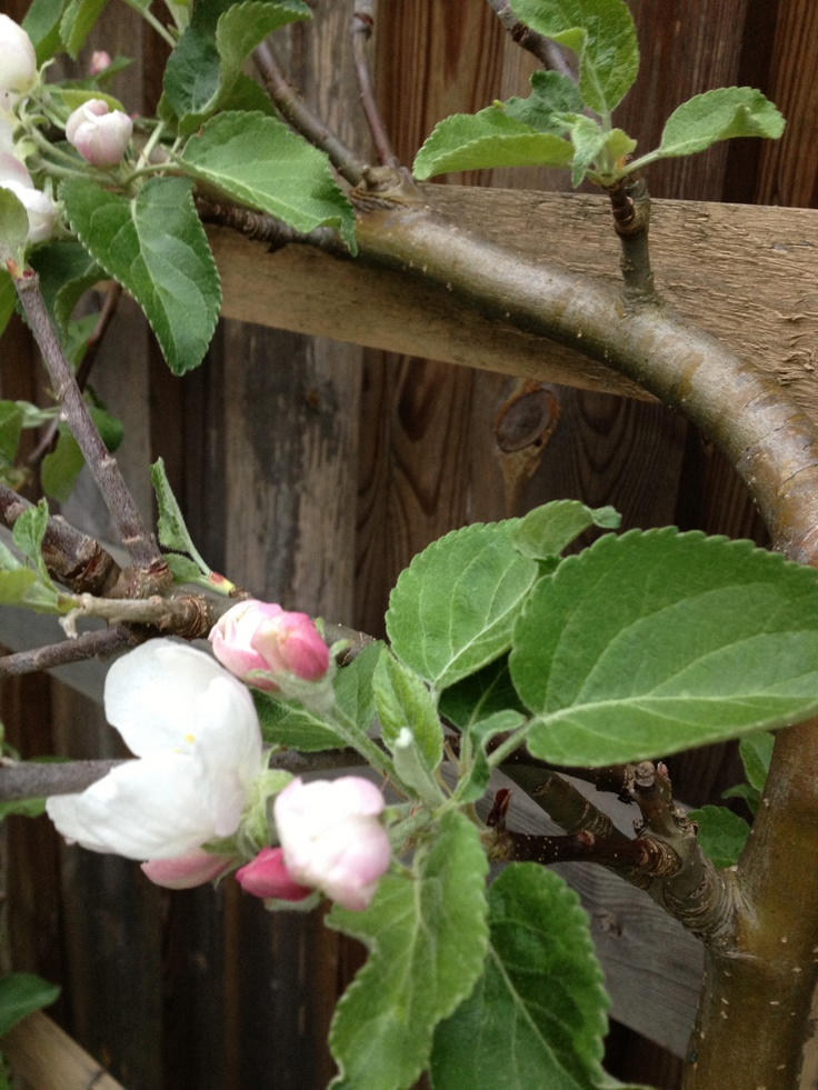 apple espalier