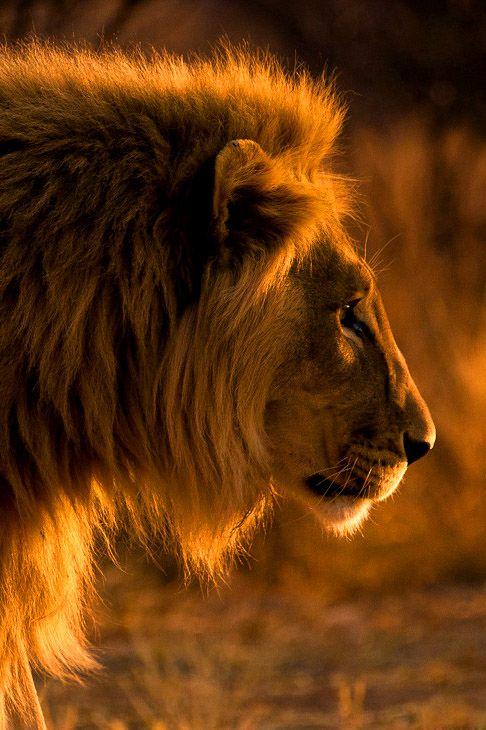 Golden Lion  on Kavita Range, close to the border of Etosha National Park, Namibia.  Christopher Spiteri