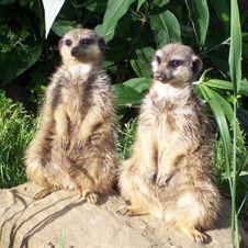 Meerkats at Wingham