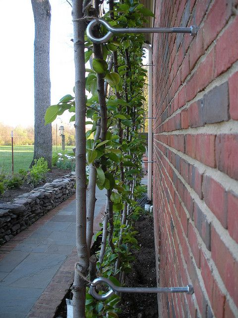 Espalier support - how to attach the wires to an existing wall/fence using eyelet screws.