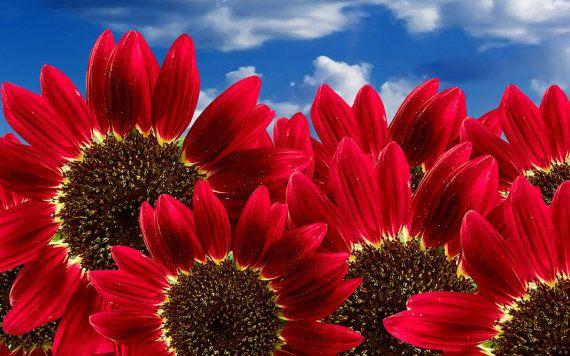 50  Sunflower Seeds  Red Sun  Heirloom Sunflower by BeanAcresSeeds
