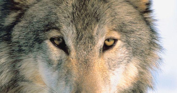 Como fazer uma máscara de lobo. Não é necessário ir até uma loja de fantasias para encontrar uma máscara de lobo, se você tem algum tempo livre e gosta de ser criativo. Se você estiver criando uma máscara de lobo para o Halloween, ou seu filho ganhou o papel de lobo mau na peça Chapeuzinho Vermelho da sua escola, há uma série de maneiras criativas que você pode usar para fazer ...