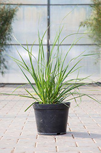 Kleines Garten-Pampasgras im 5 Liter Topf, Gräser weiß blühend, Staude winterhart-mehrjährig, Beetpflanze sonnig, Cortaderia selloana 'Pumila'