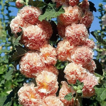 PURCHASED: Hollyhock Seeds - Chater's Double - Salmon Lush  6 feet