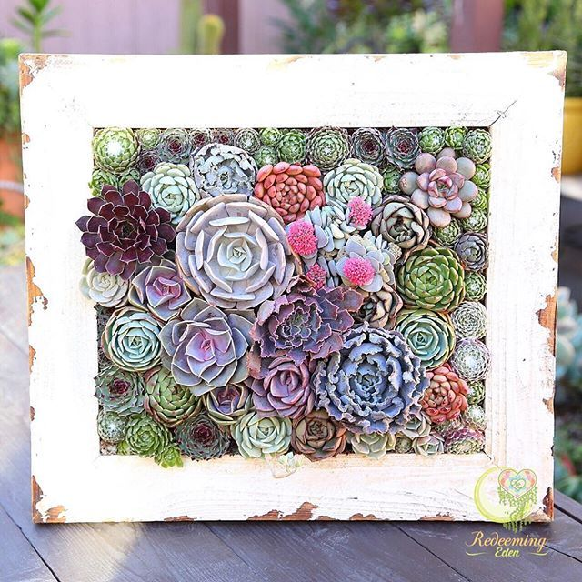 "Our vintage frame! 15""x17"" It was hard to let go of this one, but our customer was happy so we were happy. We still have one more vintage frame available, so if you're interested in making a purchase, tap the link on our profile. Happy Monday everyone! #redeemingeden #succulents #frame"