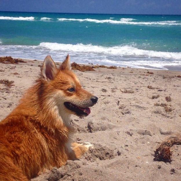 Ce chien est un croisement entre un poméranien et un husky et ressemble à s'y méprendre à... un renard: vous allez l'aimer tout de suite