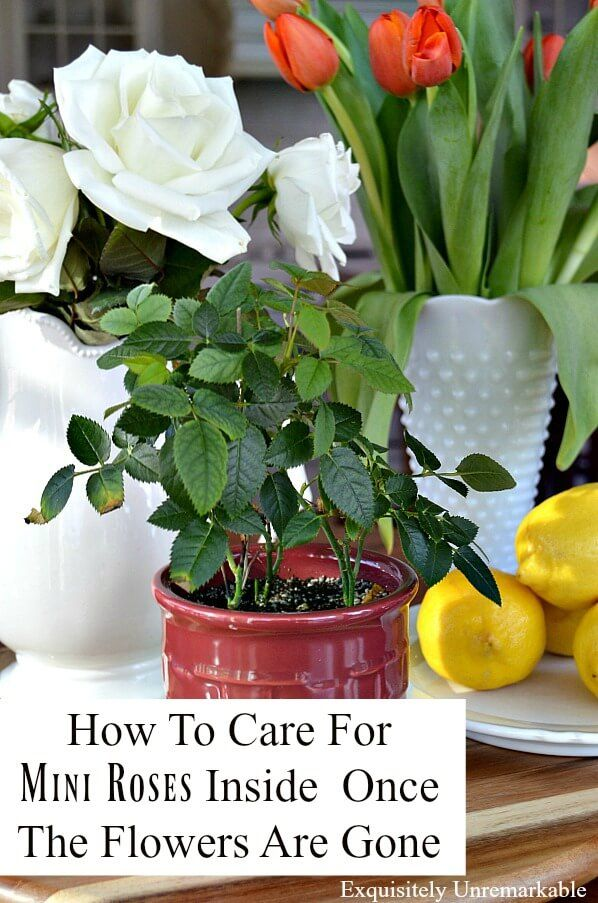 Caring For Grocery Store Mini Roses Inside Until You Can Plant Them Outside Mini Roses Rose Bush Care Planting Roses