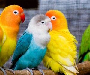 Papagáj aranyos babák bájos megjelenés
