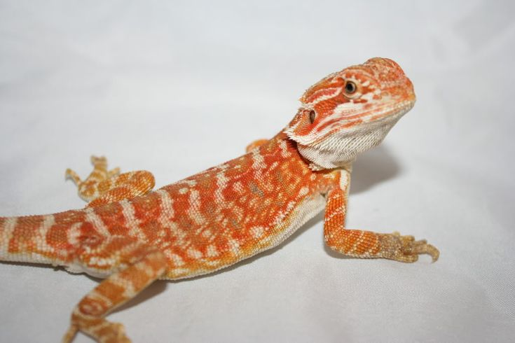 17 Best images about LIZARDS on Pinterest | Colors, Pets ...