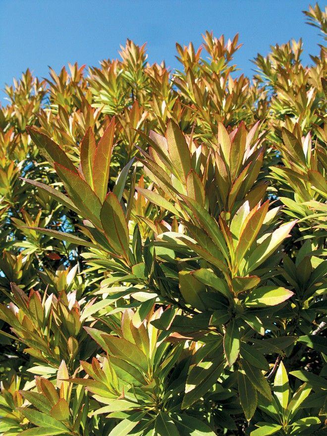 Spring foliage of Japanese blueberry tree (Elaeocarpus decipiens)