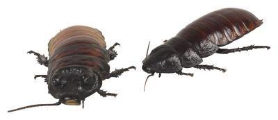 Aceites esenciales que repelen y matan a las pulgas, garrapatas, cucarachas y chinches | eHow en Español