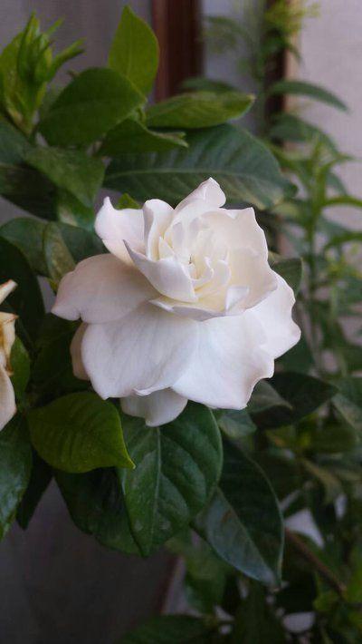 White Gardenia by GhadaCamelia on DeviantArt