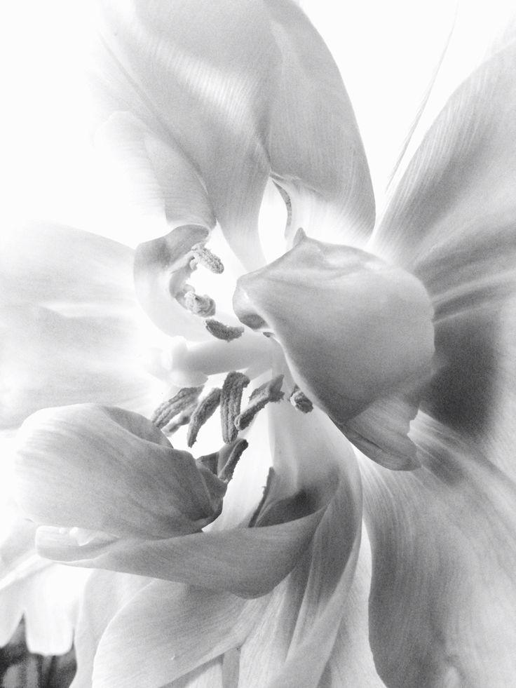 grey tulip