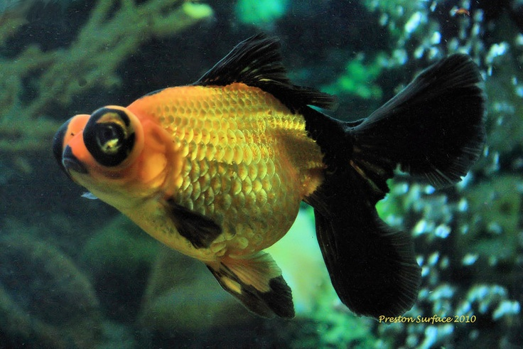 17 Best Images About Gold Fish Types On Pinterest Dragon