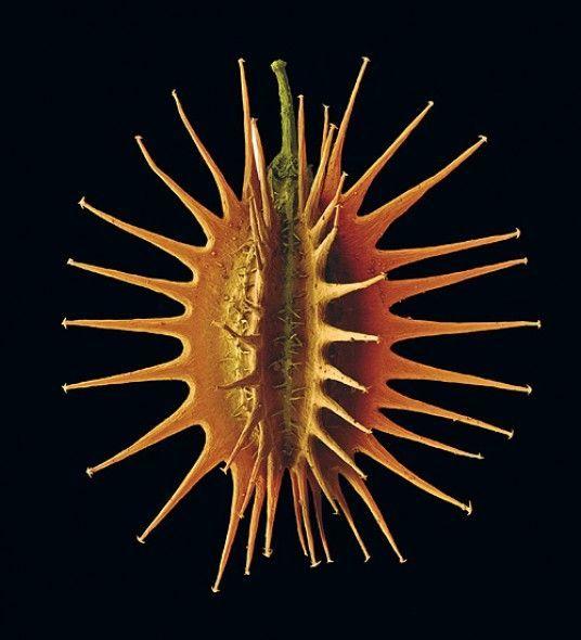 Una fascinante semilla de zanahoria (Daucus carota) de apenas 5mm