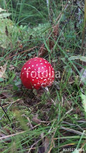 "Download the royalty-free photo ""Röd flugsvamp, Fly agaric mushroom, Getåravinen…"
