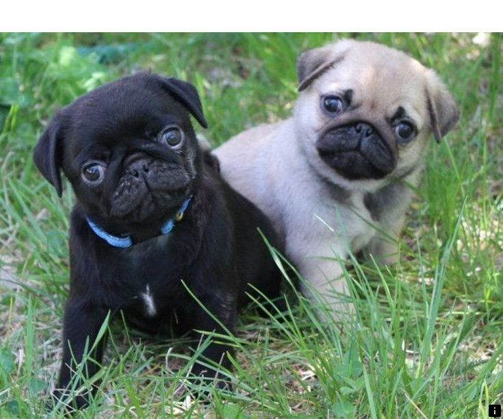 Find More Information On Baby Pugs For Sale Follow The Link To