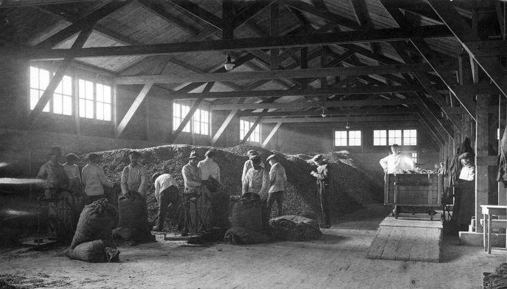 Levensmiddelenfabrieken. Arbeiders in een pakhuis met opslag van aardappelmeel bij een van de vier fabrieken van de firma Vlessing & Co., provincie Groningen 1919.