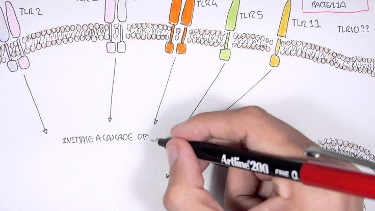 Immunology Toll Like Receptors Overview