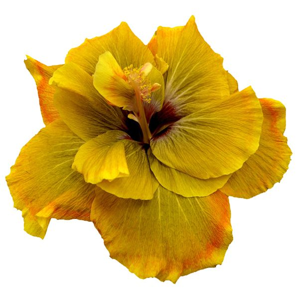 Chartreuse Rose Cajun #hibiscus is a true show-stopper in the garden, whether it grows in a container or your landscape! #tropical #flower #garden