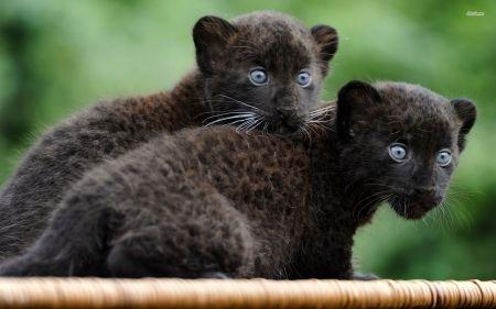 black panther kittens - panther, cat, kitten, black
