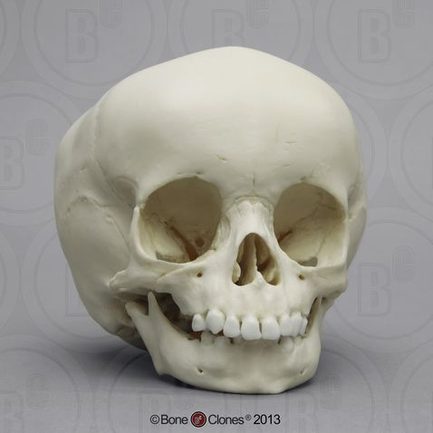 15-month-old Human Child Skull - Bone Clones, Inc. - Osteological Reproductions