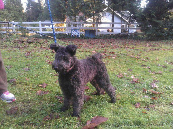 Pumi Dog Akinnaz Knixa Mayalu Dogs Is A Family Of Dog Enthusiasts Living In The Pacific Northwest Pumi Dog Dogs Science And Nature