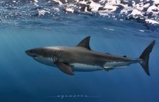 Apex Expedition – Cage diving in South Australia with Great White Sharks