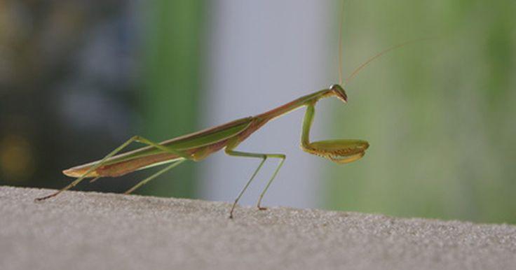 Qué tipos de comida comen los insectos palo. Ellos caminan lentamente entre las hojas con movimientos espásticos, sacudidas o fluidez, como si se los llevara el viento. Pero no sabes con seguridad, ¿estará vivo? Probablemente te has encontrado con un insecto palo. Su camuflaje único hace que sean casi imposibles de detectar en las plantas donde crecen. Pero ese disfraz tan ingenioso es lo ...
