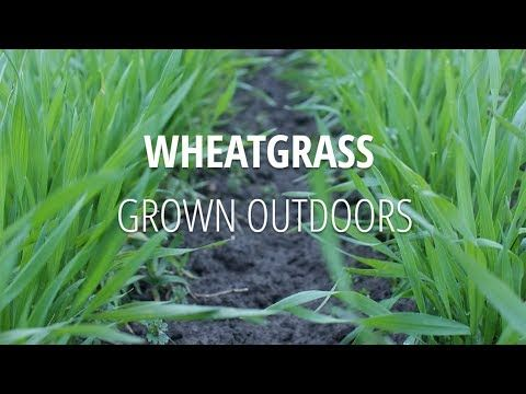 Why we grow our wheatgrass outdoors in fields.