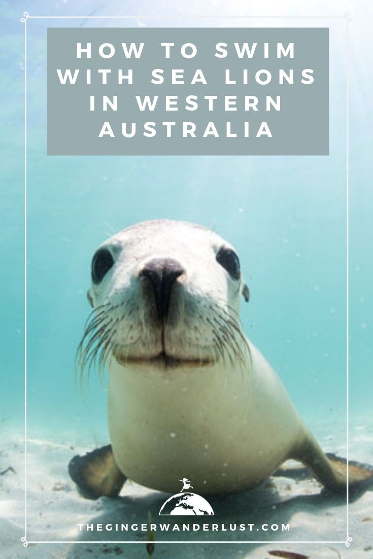 How To Swim With Sea Lions In Western Australia Western Australia Western Australia Road Trip Sea Lion