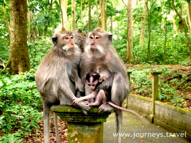 A pack of Balinese long-tailed macaques in the Alas Kedaton Monkey Forest.