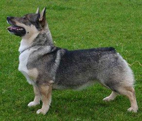Swedish Vallhund. Swedish Vallhund or västgötaspets. They were bread to heard and catch vermin. They where companions to the vikings