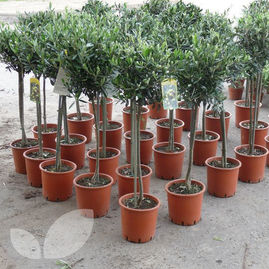 Olive Trees Mail Order From Blackmoor Nurseries Blackmoor Nurseries