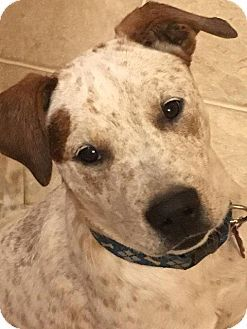 12-24-16 || #Aurora, #CO - #Cattle #Dog / #Lab Mix. Meet Marley, a puppy for #adoption. || Miami animal alliance inc - Colorado Chapter || Pet ID #: P2016059 || Contact: Karen Buffaloe || E-mail: adoptions.maa@gmail.com || http://www.adoptapet.com/pet/16597939-aurora-colorado-cattle-dog-mix