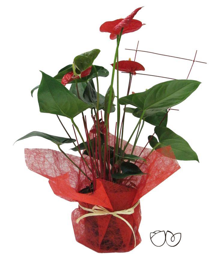 * Planta Anthurium * Un regalo que encantará por su coloridoy viveza y que además serádelarga duración.