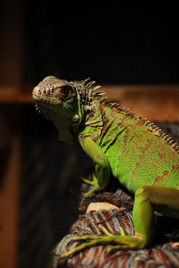 Pet Green Iguana Mini Dinosaur