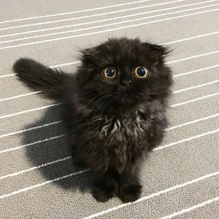 Best Cutiefn Animals Images On Pinterest Animal Funnies - Meet the ridiculously fluffy kitty thats more cloud than cat