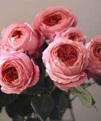 Romantic Antik Garden Rose