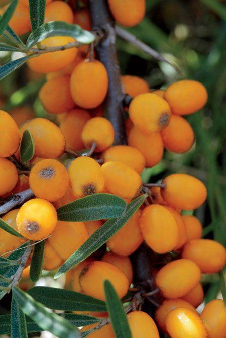 Agousier Jardinage.net : Potager et fruitier http://www.jardinage.net/potager-et-fruitier/?id=l-argousier-rustique-et-nutritif#